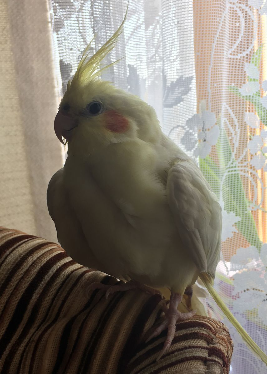 Paris the Cockatiel